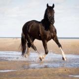 paarden-foto-pix-fotografie-zeeland-24